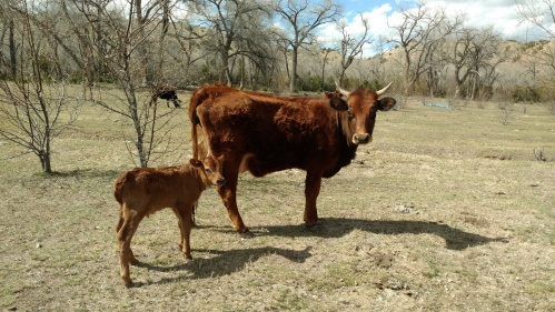 new calf with momma cow APril 2016