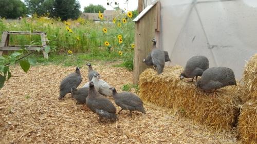 guinea_hens