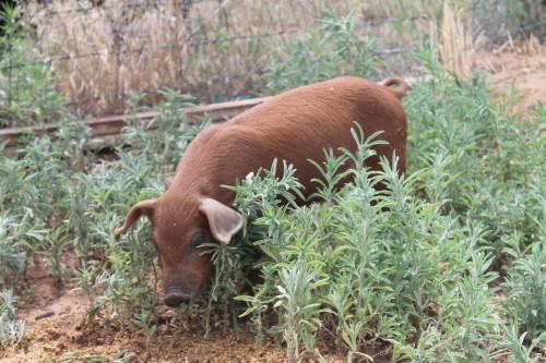 Pastured Piggy