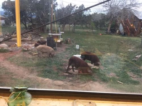Pigs out the window